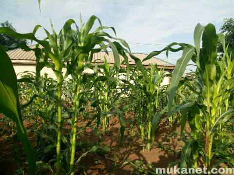 Maize Farming in Nigeria