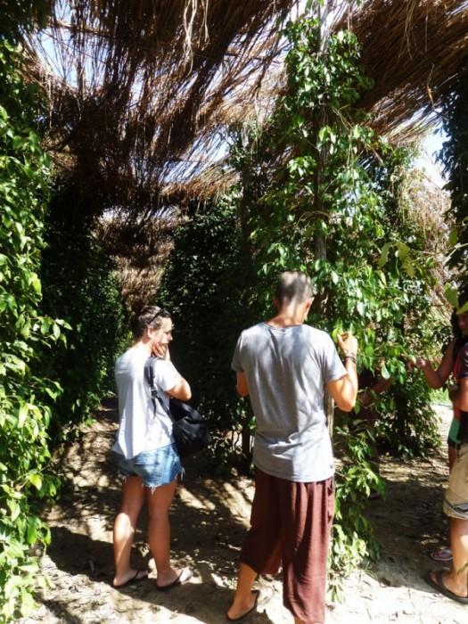 Allée de poivriers chez Sothy's Pepper Farm