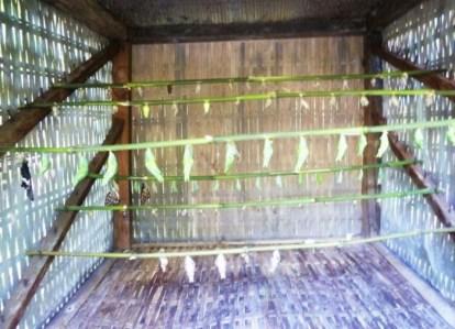 Chrysalides dans la Kep butterfly farm dans la jungle