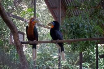 Oiseau Calao