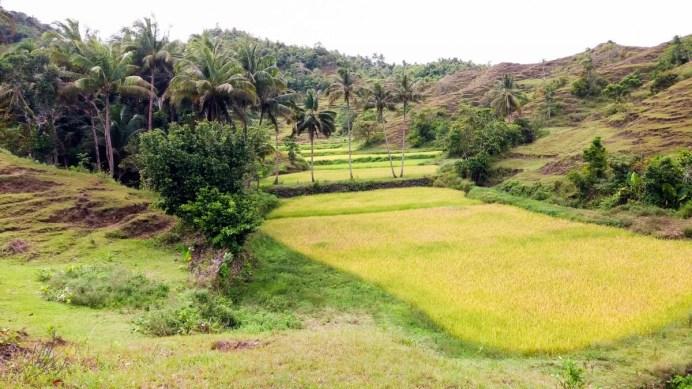 Rizière dans la campagne sur l'île de Siquijor aux Philippines