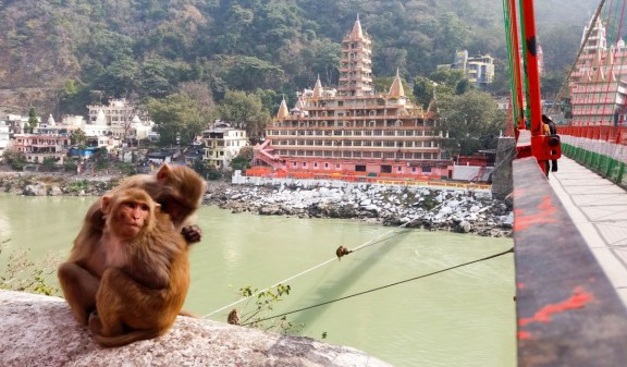 Rishikesh, les macaques vous attendent