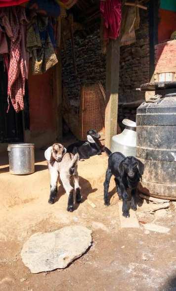 Les chèvres de Ramkot