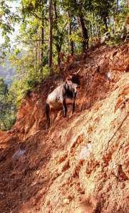 Les vaches de Ramkot en liberté