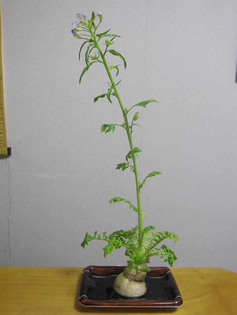 大根 葉っぱ 水栽培