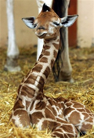 giraffe baby giraffe eyes closed