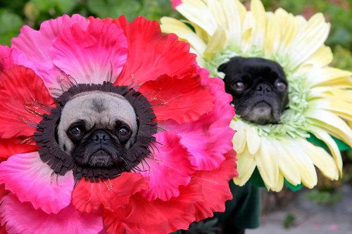 halloween flower pugs