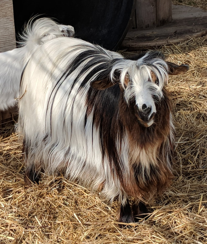 DOES Mulberry Meadow Mini Silky Fainting Goats Elwell