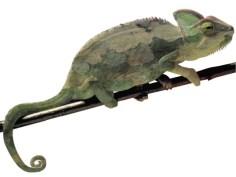 Chameleon_01