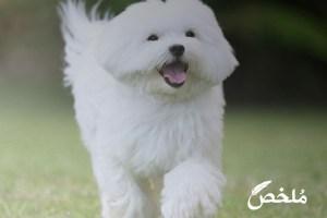أنواع الكلاب اللولو واسعارها