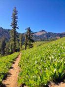 Beautiful meadow full of Lamb's Ear