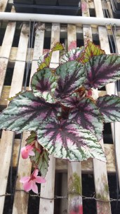 """""""Can Can"""" Rex Begonia"""