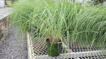 "4.5"" Wind Dancer Grass"