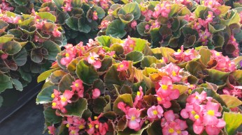 """6"""" Begonia Brownleaf/Pink"""