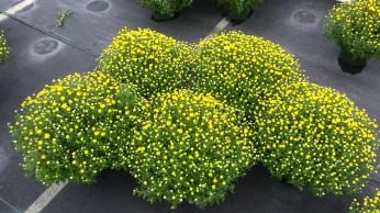 """8"""" Mum Pan Olga Yellow"""