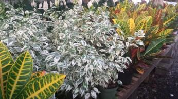 """6"""" Varigated Ficus, Croton"""