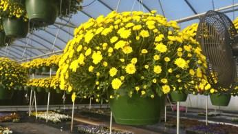 Yellow Belgian Mum Baskets