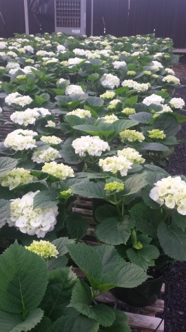 2-Bloom Hydrangeas