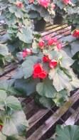 """6.5"""" Red Begonia"""
