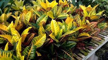 "6"" Croton"