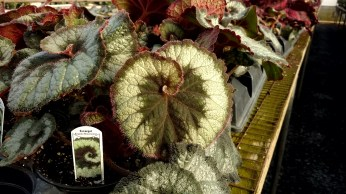 "4.5"" Rex Begonia ""Escargot"""