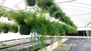 "10"" Asparagus Fern Basket"