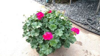 Purple Geranium HB