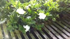 "6"" Gardenia"