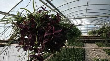 Wandering Jew/Spider Plant Mix HB