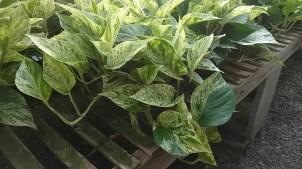 """6"""" Pothos Green/White"""