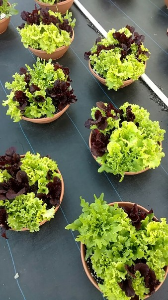 "12"" Lettuce Bowls"