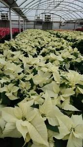 """6.5"""" White Poinsettias"""