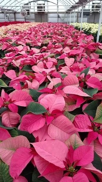 """6.5"""" Pink Poinsettias"""