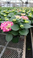 Hydrangeas should be ready within the next few weeks!