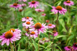 Echinacea Herbal Medicine Mullum Herbals