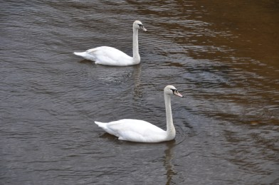 Majestic Swans in Sync