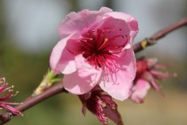 Delicate pink flower seeks bee in order to become succulent nectarine in next life.