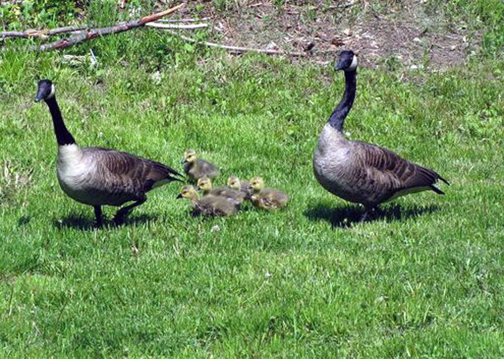 A family of Canada geese exits the backyard of Kristen Lamb in 2018 in Nottingham, New Hampshire, shortly after Lamb added an orphaned gosling to the family unit. One of the adult geese retrieved the crying gosling that Lamb left near them, making the adoption a success. Photo courtesy of Kristen Lamb