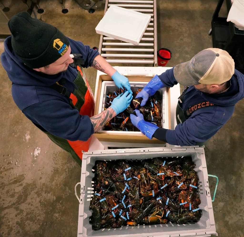 T.J. Pearson, left, and Phil Miles pack lobsters in a special insulated box at Maine Coast in York in  January. Lobstermen are bracing for regulatory changes that could reduce their catch as the industry grapples with ways to protect the endangered right whale.