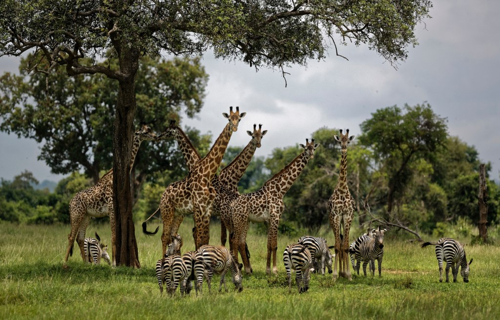 In this March 20, 2018, file photo, giraffes and zebras congregate under the shade of a tree in the afternoon in Mikumi National Park, Tanzania. The United Nations issued its first comprehensive global scientific report on biodiversity on Monday.