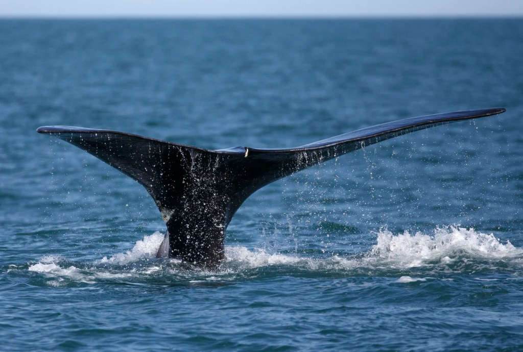 A North Atlantic right whale appears at the surface of Cape Cod Bay off the coast of Plymouth, Mass., in March 2018. Michael Dwyer/Associated Press