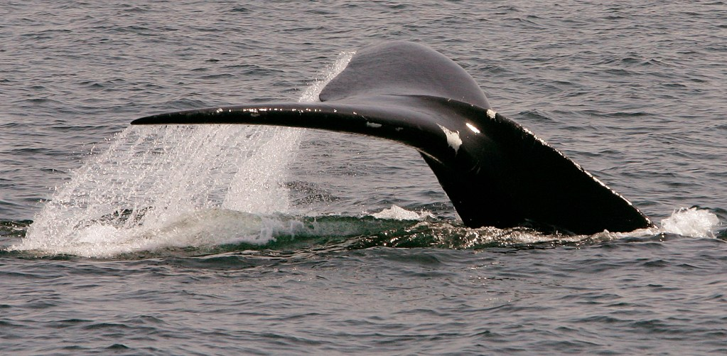 A rare North Atlantic right whale dives in Cape Cod Bay near Provincetown, Mass., in 2008.