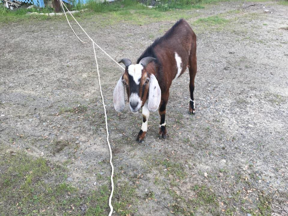 This goat was restrained by Oakland Police Officer Jacob Earle after it reportedly chased a woman down a street in the town Sunday morning.