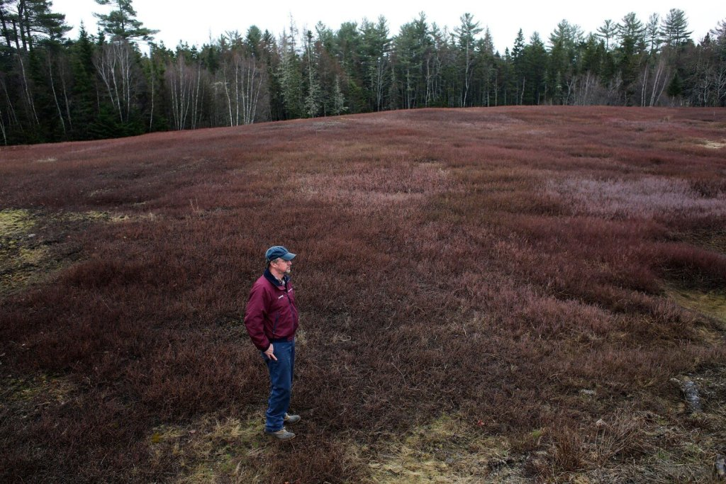 Courtney Hammond looks out over his family's blueberry fields in Harrington last spring. Harvests in 2018 were down compared with previous years, but prices paid to farmers rebounded.
