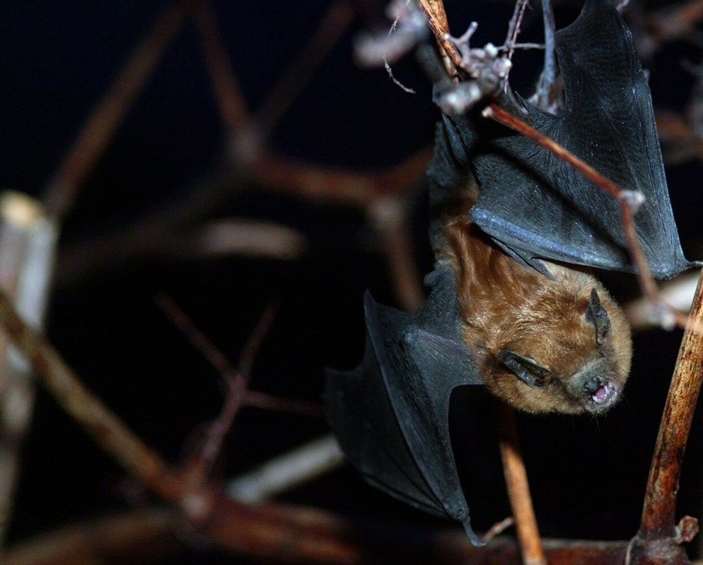 A bat flies through Hallowell. The Maine Department of Inland Fisheries & Wildlife is collecting population data on bats.