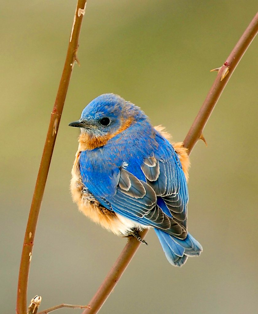 His cheatin' heart? Can we know if this Eastern bluebird has been faithful to his mate?