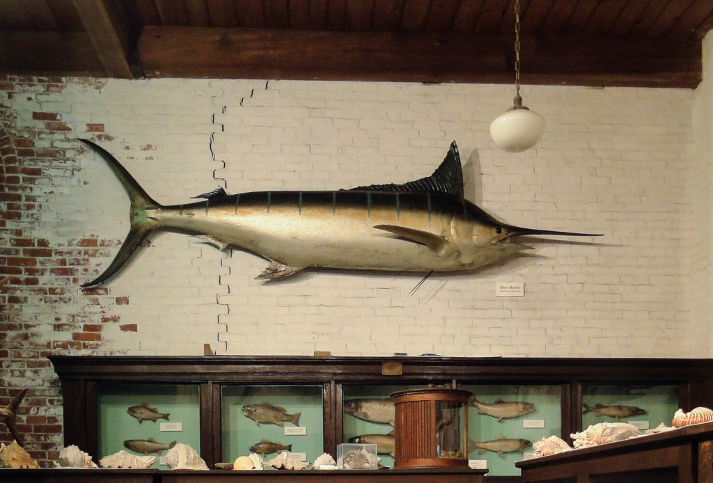 The blue marlin caught in 1935 in Bimini by Ernest Hemingway  on exhibit in the L.C. Bates Marine Life Gallery.