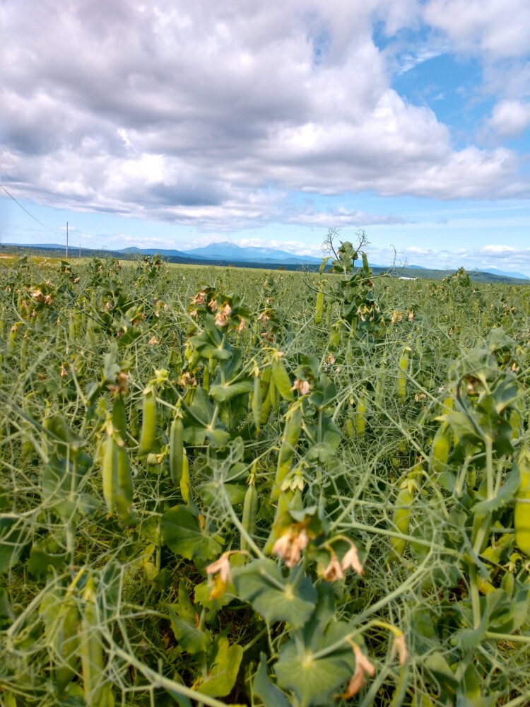 In the town of Benedicta in Aroostook County, a field filled with yellow field peas ripen as they await harvest and a trip to the Maine Grains mill in Skowhegan, where they will be turned into yellow pea flour and sold to chefs.