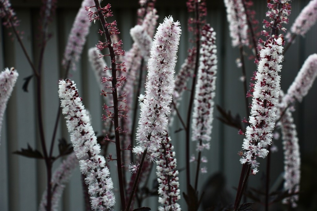 Cimicifuga blooms can add late-season beauty and color to your garden.