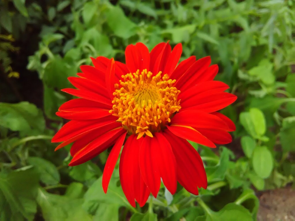Cheerful Torch Tithonia, also known as a Mexican sunflower, is columnist Tom Atwell's favorite new plant of the year.